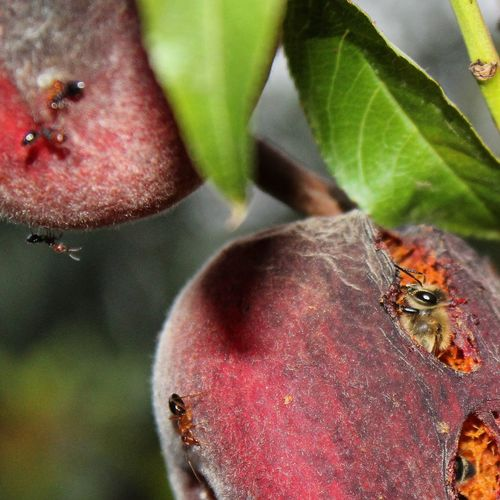 Animal Wildlife Love Fruits Nature's Diversities Eating Healthy Sicily Eating Fruit Nature_collection Selective Focus Peach Tree Close-up Beesofeyeem Outdoors Macro