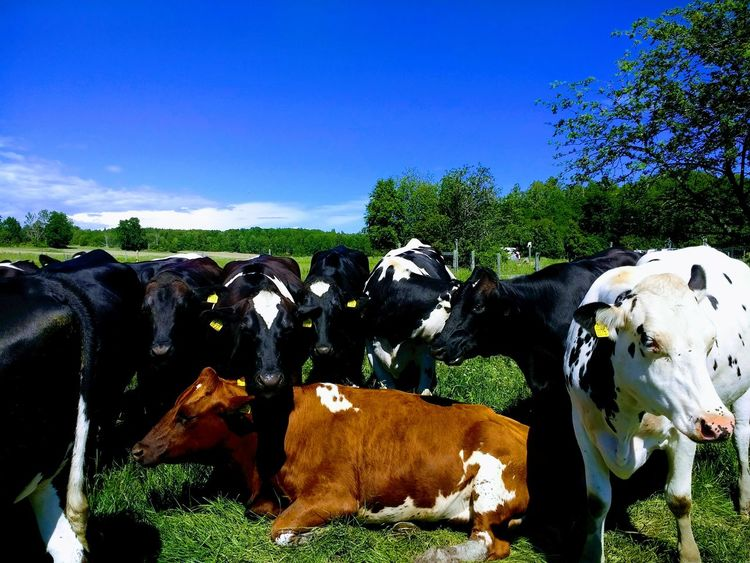 Domestic Animals Cow Livestock Animal Themes Mammal Cattle No People Agriculture Tree Day Outdoors Rural Scene Large Group Of Animals Nature Sky