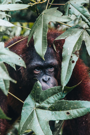 Animal Animal Themes Animal Wildlife Animals In The Wild Close-up Day Focus On Foreground Green Color Growth Leaf Looking At Camera Mammal Nature No People One Animal Orangutan Outdoors Plant Plant Part Portrait Vertebrate