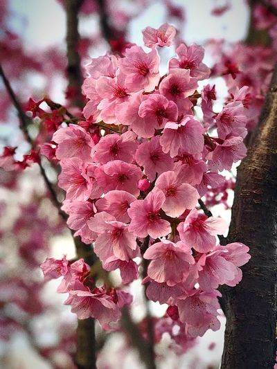 Kudanshita Nature Beauty In Nature Growth Flower Pink Color Close-up Freshness Tree Branch No People Outdoors Day Flower Head Fragility First Eyeem Photo
