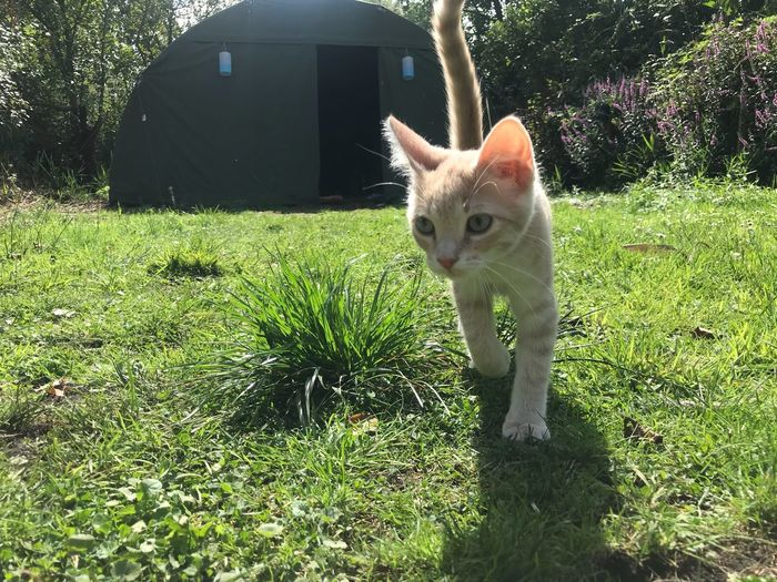 Kitten Red Cat Walking Cat No Edit/no Filter Happiness No Filter, No Edit, Just Photography Animal Themes Mammal Animal Pets One Animal Domestic Feline Domestic Animals Cat Grass Plant Domestic Cat Green Color Sunlight Nature No People Field Day