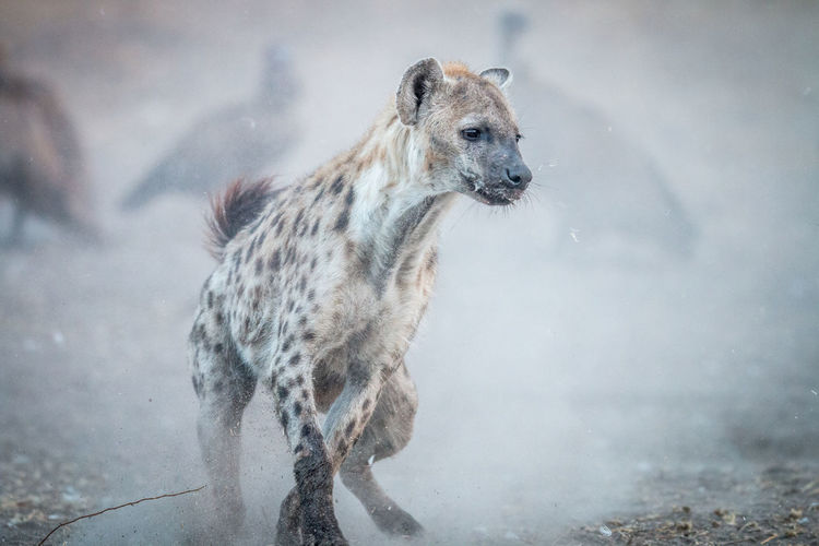 Spotted hyena standing on field