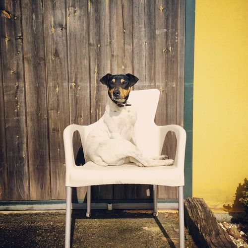 Dog Sitting On Chair Against Wall