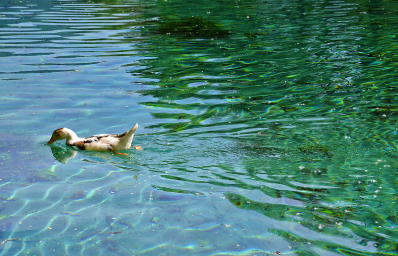 Duck swimming. Nuoto dell'anatra. Duck!! Animal Animal Photography Animals Animals In The Wild Beauty In Nature Duck Eye4photography  EyeEm Best Shots EyeEm Nature Lover Green Color Lake Mallard Duck Nature Nature_collection Outdoors Rippled Showcase April Swimming Taking Photos Tranquility Water Water Bird Water Surface Wildlife