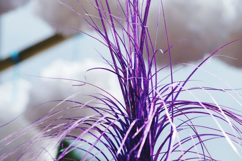 Close-Up Of Purple Pom-Pom
