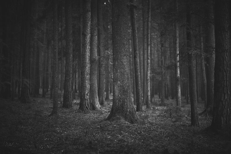 https://youtu.be/5anLPw0Efmo Black And White Forest Tree Land Trunk Tree Trunk Plant WoodLand Tranquility Tranquil Scene Nature Beauty In Nature No People Growth Non-urban Scene Day Outdoors Scenics - Nature Environment Landscape Idyllic WoodLand Tranquility Growth Beauty In Nature Abundance Nature Tree Trunk Land Plant