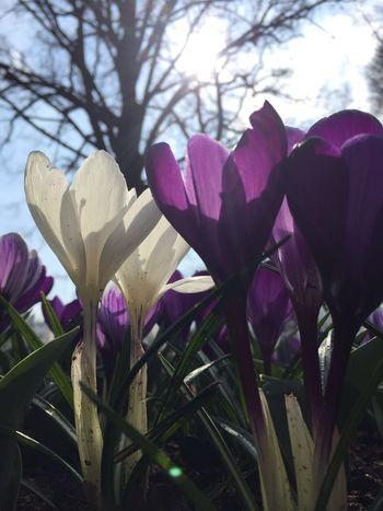 Flowers Keukenhof Garden Keukenhof Tulipa Holand Tulips🌷 Picoftheday Tulip Flower Photography Tulipas