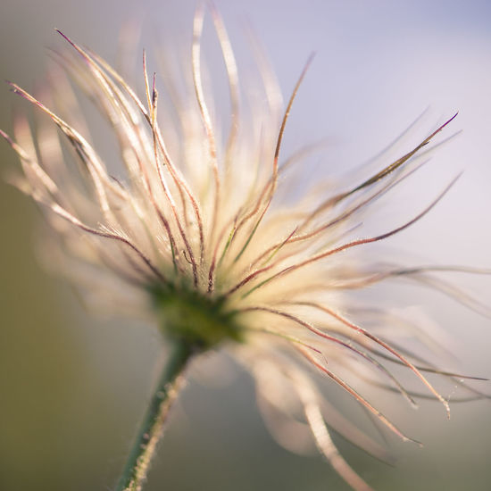 Fine Art Photography Kuhschelle Macro Beauty Beauty In Nature Botany Close-up Day Fineart Flower Flowering Plant Focus On Foreground Fragility Freshness Growth Nature No People Outdoors Plant Scenics - Nature Selective Focus Sky Soft Focus Sunset Tranquility Vulnerability