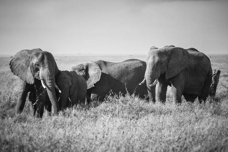 Elephants standing on land against sky