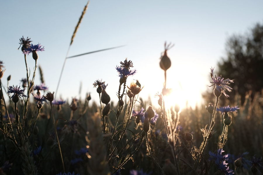 Beauty In Nature Cereal Plant Field Fields Fieldscape Flower Flowers Flowers, Nature And Beauty Kornblume Landscape Landscape_Collection Landscape_photography Meadow Nature Nature On Your Doorstep Nature Photography Nature_collection Naturelovers No People Plant Plants Summer Summertime Sunlight Sunset