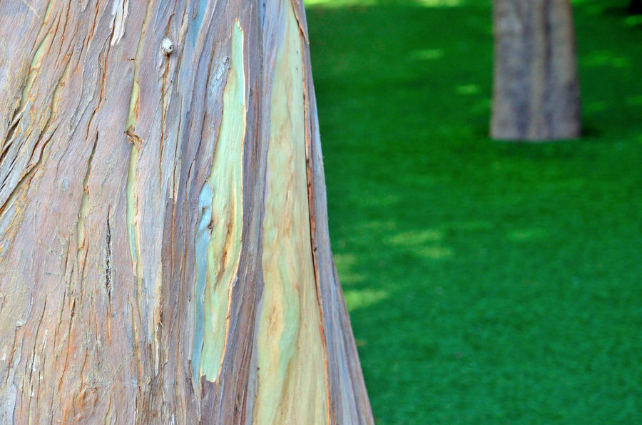 Bark Bark Texture Botany Check This Out Close-up Depth Of Field Eucalyptus Focus On Foreground Green Color Nature Public Garden Shading  Synthetic Lawn Texture Tranquility Tree Tree Trunk EyeEm Nature Lover EyeEm Best Shots - Nature
