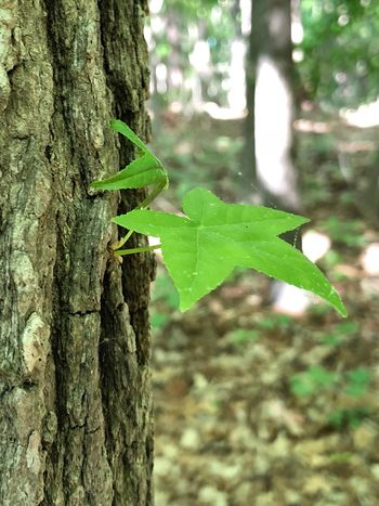 Brand new leaves making their appearance Tree Trunk Trunk Tree Plant Animal Wildlife Animals In The Wild Animal Focus On Foreground Growth Insect Nature Close-up No People One Animal Day Animal Themes Invertebrate Plant Part Leaf Green Color