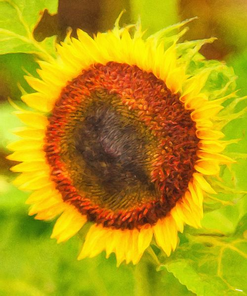 Beauty In Nature, Flower Head Blooming Flower Yellow Day Sunflower Outdoors Vibrant Colors