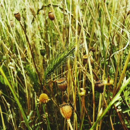 Grass Popular Photos PoppySeed Green Grass Nature