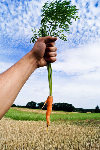 Cropped View Of Man Holding Carrot In Field
