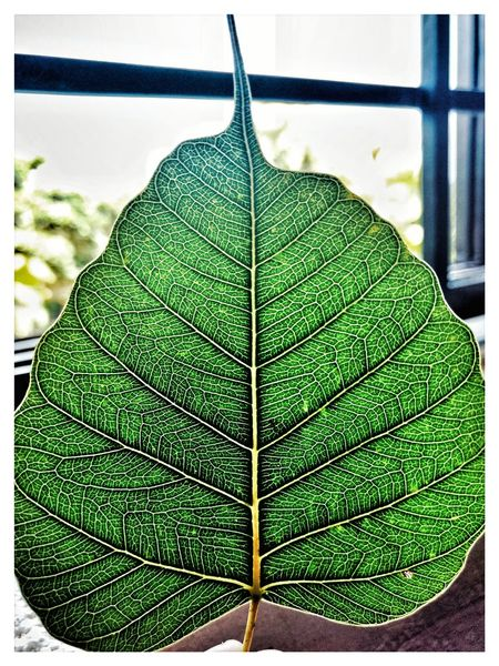 leaf trace Leafs Leaf Beauty In Nature Nature Nature_collection Nature Photography Leafs Photography Green Indoors  No People Day Close-up