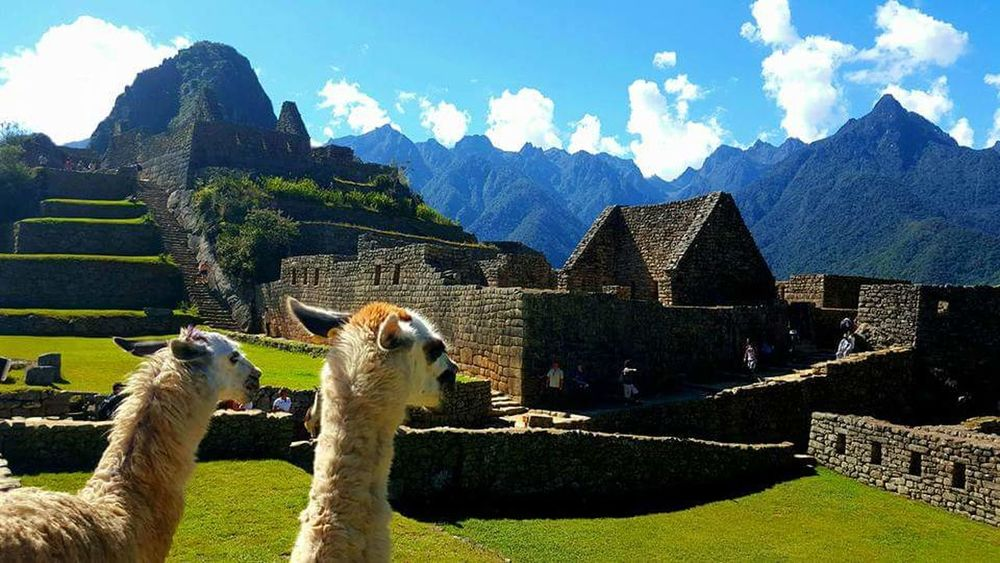 Llamas Machu Picchu Peru Travel Destinations Wildlife Tourism Wonder Of The World Archeological Complex Landscape Mountain Coulour Of Life