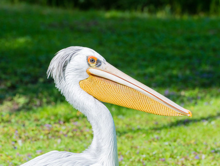 Close-up of pelican on grass