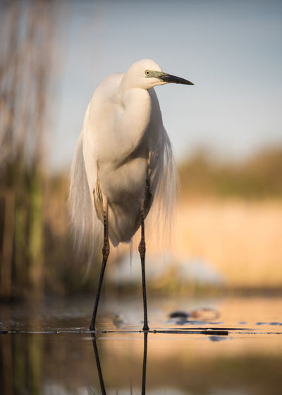 Great egret at lakeshore