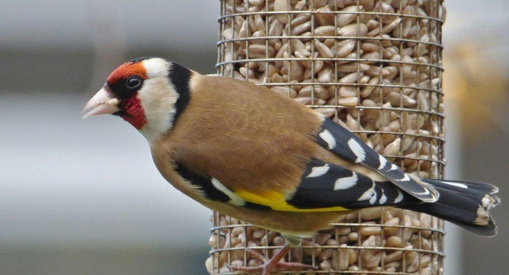 Goldfinch Goldfinch Garden Bird On Feeder Garden Bird Finch