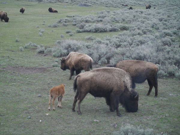 Animal Family Animal Themes Baby Bison Beauty In Nature Bison Day Field Grass Grassy Grazing Herbivorous Landscape Livestock Mammal Medium Group Of Animals Nature No People Non-urban Scene Outdoors Sheep Three Animals Yellowstone Yellowstone National Park Young Animal