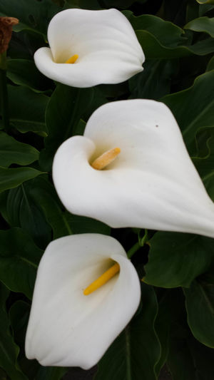 Serenity Calla Lilies Calla Lily Calla Lillies Garden Flowers Gardening Santa Cruz, Ca. Calla Lillies Closeup Garden Photography