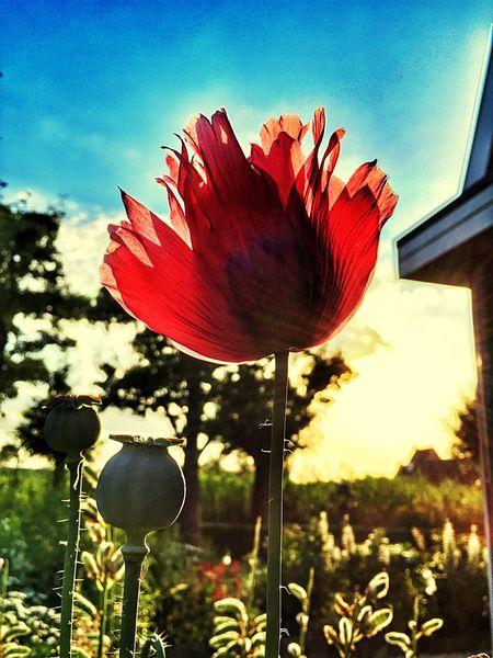 Nature Flowers Sun