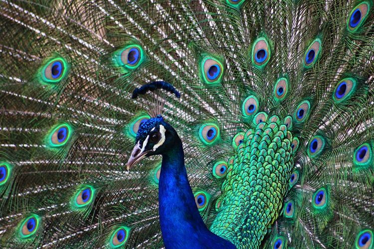 FULL FRAME CLOSE-UP OF PEACOCK WITH FANNED OUT FEATHERS