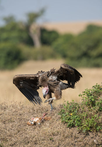 hunter and prey Animal Animal Themes Animal Wildlife Animals In The Wild Vertebrate Flying Bird Bird Of Prey Spread Wings One Animal Vulture No People Plant Day Focus On Foreground Nature Field Land Tree Outdoors Eagle Eagle - Bird