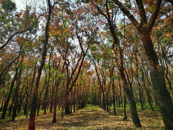 Color in rubber tree Defoliation Change Of Seasons Tree Nature Growth Beauty In Nature Forest Tranquility Low Angle View Outdoors Tranquil Scene No People Day Scenics Tree Trunk Freshness Branch Tree Area