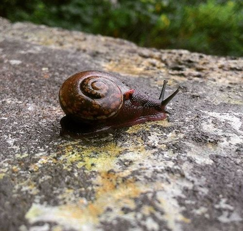 Early morning riser- a beautiful snail. Heavy rain made it to come out from his sleep. Early Morning Riser Snail Slow Walker Nature 's Creature Home Photography Southindia Tamilnadu India Solotrip Laststop Before Time To  Go Home