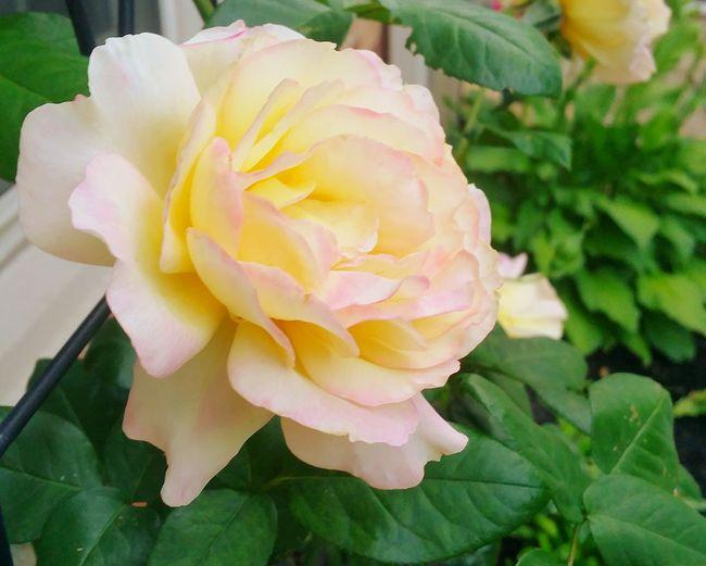 Roses Nature Photography Gardening Secret Garden Depth Of Field Flowers