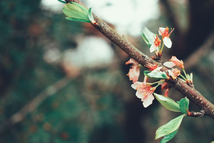 Blossom Cherry Blossom Cherry Tree Leaf Insect Close-up Plant Blooming In Bloom Petal Plant Life Apple Blossom Pollen Flower Head