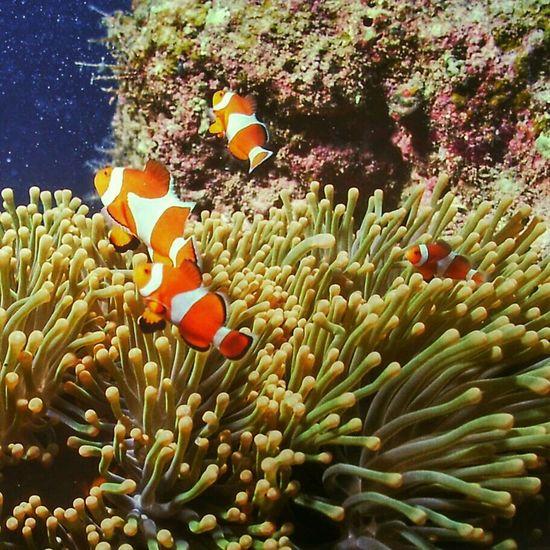 カクレカクマノミ Clown Anemonefish Under Sea Nature_collection Nature at 西表島イソバナ根