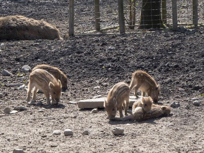 Cute baby-pigs