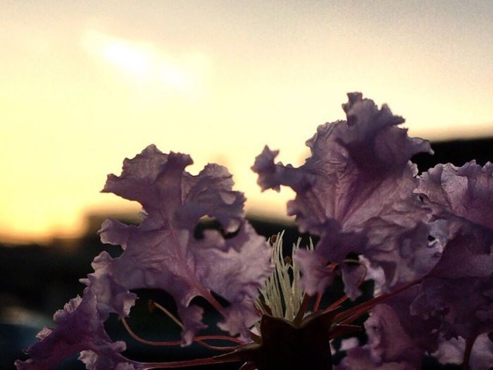 Sunset Sunset_collection Flower Nature Fragility Beauty In Nature No People Close-up Growth Petal Outdoors Plant Flower Head Sky Day Freshness Summer Summer Views Silhouette Praying For World Peace Thank You Eyeem EyeEm Nature Lover 😊🍷🍷👍🏼 Crape Myrtle サルスベリの花