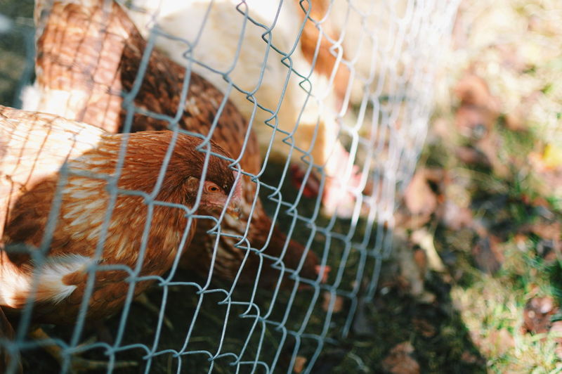 Close-up of an animal seen through chainlink fence