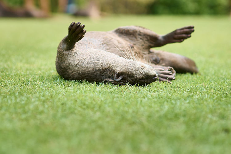 Close-up of animal lying on grass
