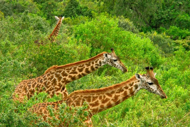 Side view of two giraffe on land