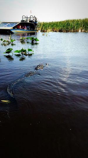 Going In Florida Florida Alligator Water Airboat Everglades  Nature's Diversities Animals Animal Aligator Everglades National Park Crocodile Aligators Monster Huge Afraid Animal Themes Animal Photography Animals In The Wild