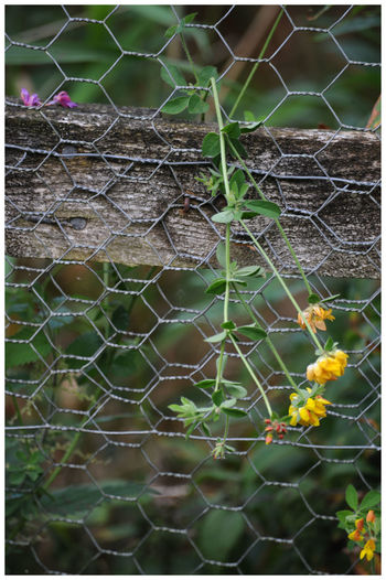 Chcken Wire Close-up Fence Post Fragility Nature Outdoors Plant The Den Kirriemuir