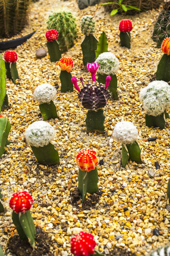 Colorful cactus Background Botanic Cacti Cactus Colorful Decoration Desert Earth Existance Garden Growth Nature Round Sharp Sphere Spikes Spine Succulent Thorn Tropical