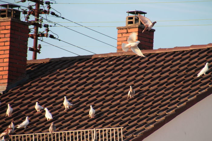 Animal Themes Animals In The Wild Architecture Bird Brick Wall Building Building Exterior Built Structure Cable Clear Sky Day House Low Angle View No People Outdoors Perching Residential Building Roof Sky Wildlife