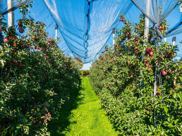 Herbstzeit - Erntezeit Apfel Apfelbaum💫 Apfelernte Apfelplantage Herbst Beauty In Nature Bodenseeregion Freshness Fruit Früchte Der Natur Gesunde Ernährung Nature No People Outdoors Plant Tree