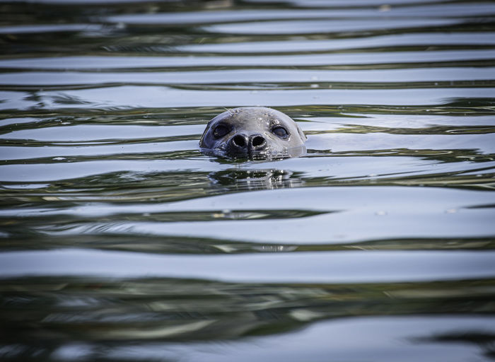 Under the watchful eye of a swimming seal
