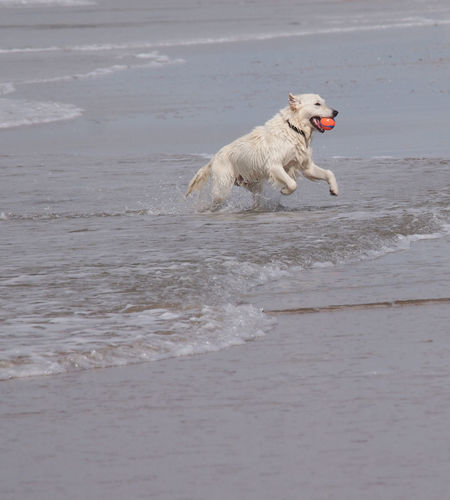 Animal Animal Themes Beach Canine Dog Dog Playing Motion Nature No People One Animal Pets Running Sea Water