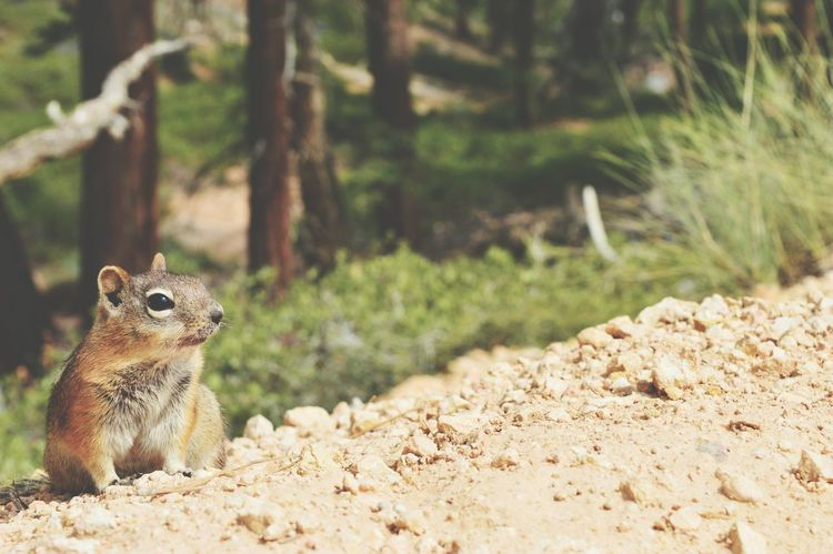 One Animal Animal Wildlife Animals In The Wild Animal Themes Nature Outdoors Day No People Tree Mammal Bryce Canyon Beauty In Nature USA Nature USAtrip Chimpmunk EyeEmNewHere