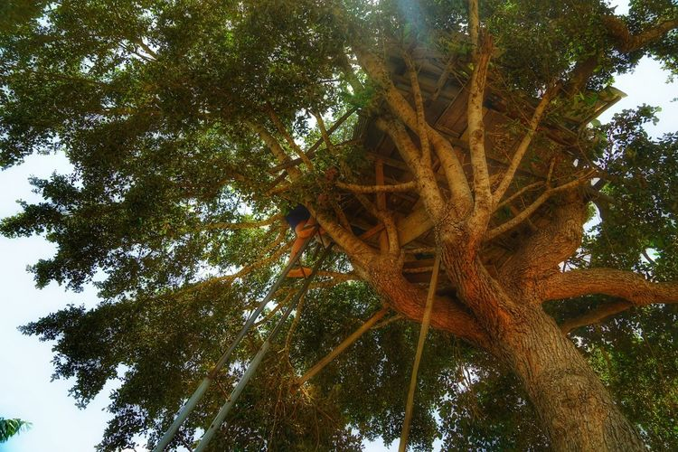 Tree Plant Low Angle View Growth Nature Day No People Sky Outdoors Beauty In Nature Tree Trunk Tall - High Green Color Trunk Tranquility Branch Forest Plant Part Land Leaf Tree Canopy