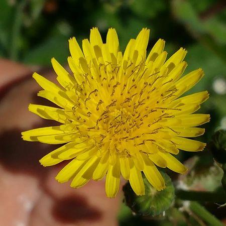 Grassflower Flower Collection Diente De León Argentina Photography Argentina