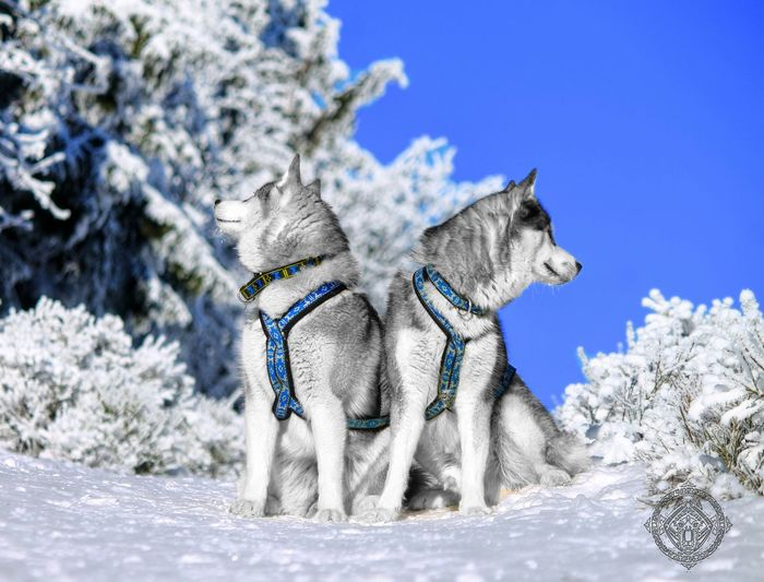 Siberian Husky Dog Husky Snow ❄ Animal Nature Mountain Mushing Huskies First Eyeem Photo